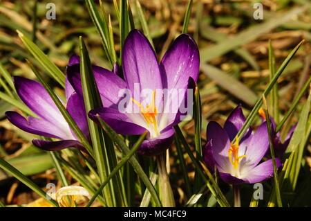 Krokusse lila - Stock Photo