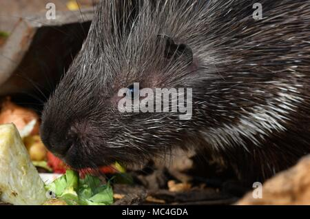 "Porcupine - the prickliest of rodents, though its Latin name means ""quill pig."" - Stock Photo"
