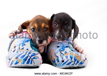 Dachshund dog puppy shoes - Stock Photo