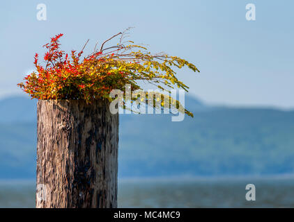 A close up on a pillion in the Columbia River, seen from the waterfront, with plants growing out of the top of it. - Stock Photo