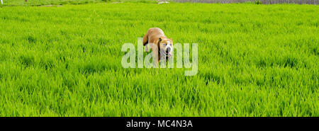 American Staffordshire terrier dog running on wheat field,image of a - Stock Photo