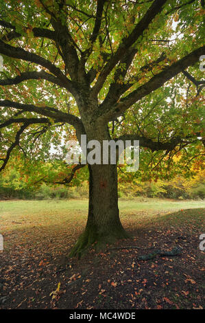 beautiful autumn oak tree branches. Composition of nature - Stock Photo