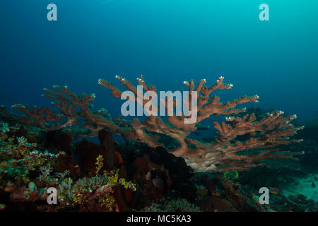 Wonderful hard corals. Picture was taken in the Ceram sea, Raja Ampat, West Papua, Indonesia - Stock Photo