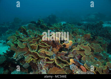 Yellow scroll coral (Turbinaria reniformes). Picture was taken in the Ceram sea, Raja Ampat, West Papua, Indonesia - Stock Photo