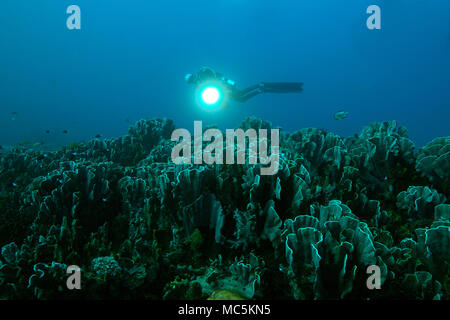 Blue coral (Heliopora coerulea). Picture was taken in the Ceram sea, Raja Ampat, West Papua, Indonesia - Stock Photo