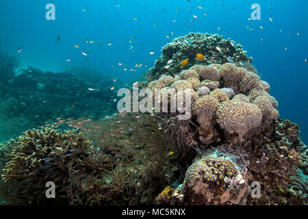 Beautiful soft corals,  wonderful hard corals and life around them. Picture was taken in the Ceram sea, Raja Ampat, West Papua, Indonesia - Stock Photo