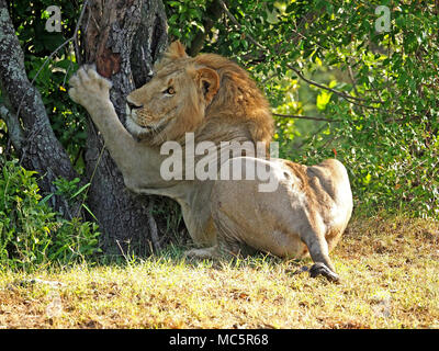 young adult male lion (Panthera leo) scratching claws on a tree trunk  in the Masai Mara, Kenya, Africa - Stock Photo
