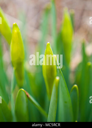 Close up photograph of bright green perennial flower bulbs budding and getting ready to bloom in the spring in a flower bed in Chicago with blurred bo - Stock Photo