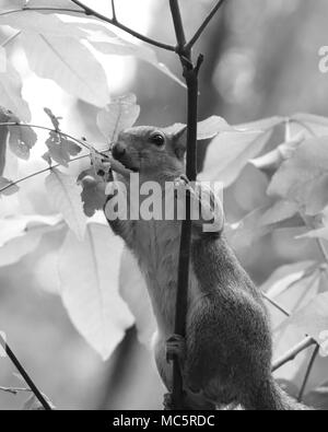 Black and white of an Eastern tree Squirrel foraging in the leafy bushes at Rainbow Spring State park in Florida - Stock Photo