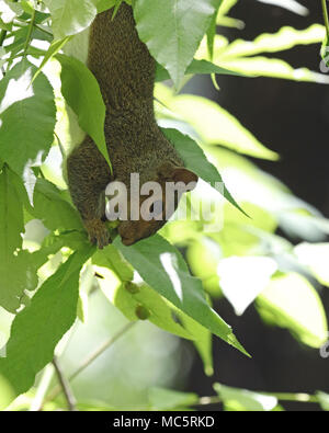 Adorable Eastern gray squirrel hanging upside down in green leaves as it eats from the tree branches - Stock Photo
