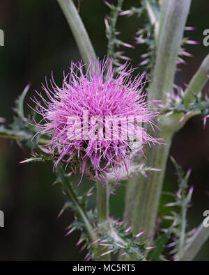 Beautiful full purple Thistle wildflower plant found in the overgrown gardens at Rainbow Springs state park in Florida - Stock Photo