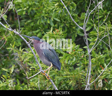 Green Heron (Butorides virescens) perched in tree along the Rainbow River in Dunnellon, Florida - Stock Photo