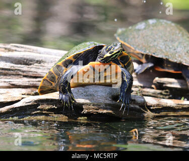 Florida red-bellied cooter (Pseudemys nelsoni) on a log at Rainbow River in Florida - Stock Photo