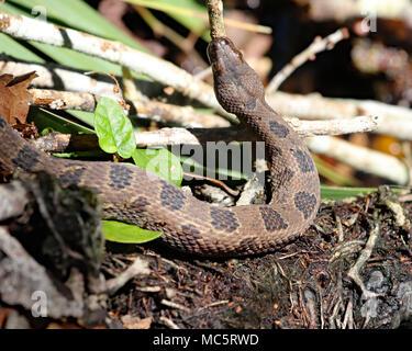 Brown water snake (nerodia taxispilota) in Florida - Stock Photo