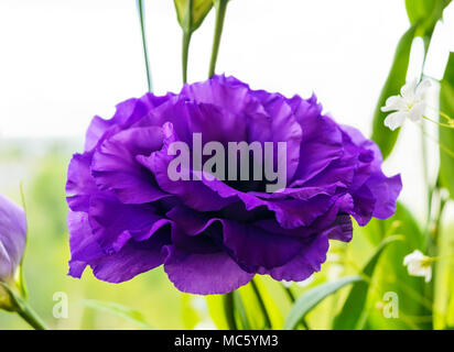 Delicate purple flower eustomy (lisianthus) on a background of nature. Close-up - Stock Photo