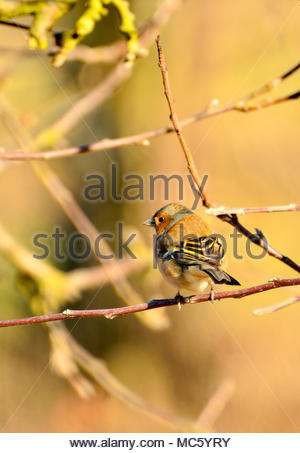 Male Chaffinch (Fringilla coelebs) perched in a tree - Stock Photo