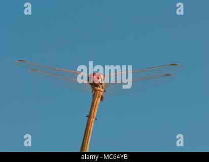 Scarlet dragonfly, Crocothemis erythrea - Stock Photo