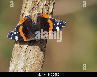 Red Admiral Butterfly (Vanessa atalanta) perched on a sunlit branch in November. Tipperary, Ireland - Stock Photo