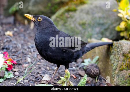 Blackbird (Turdus merula) - Stock Photo