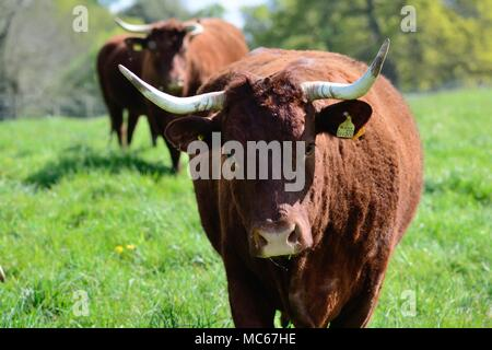 Close up of red Devon cattle in a field - Stock Photo