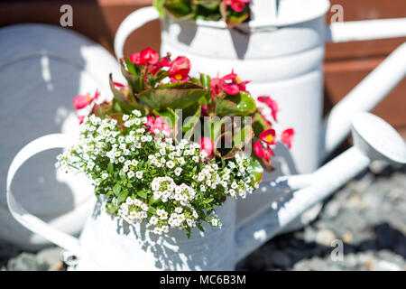 Flowers in white watering can, sunny day. Shallow DOF. - Stock Photo