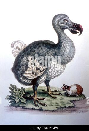 DODO - Hand-coloured engraving of the Dodo after a print by Edwards, c. 1789 - Stock Photo