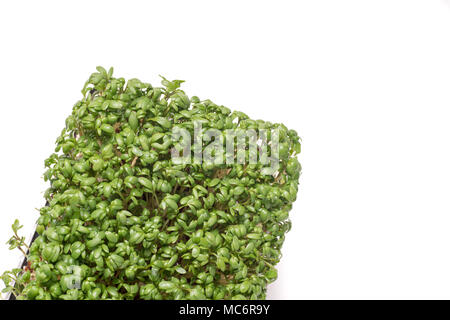 organic vibrant green cress isolated on white background - Stock Photo
