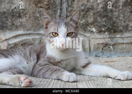 Grey-white kitten sitting in a majestic pose - Stock Photo