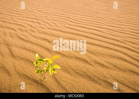 Little plant growing in a sand dune in the desert - Stock Photo