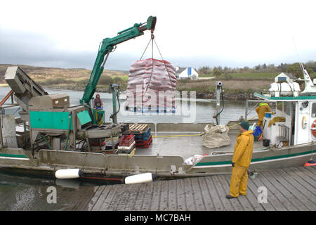 Roaring Water Bay, West Cork, Ireland. 13th April, 2018. Roaring Water Bay mussels, famous for their flavour being landed already cleaned and packed on a pallet, to be shipped to the markets of France. Credit: aphperspective/Alamy Live News. - Stock Photo