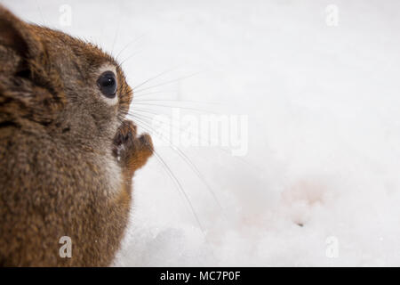 MAYNOOTH, ONTARIO, CANADA - April 12, 2018: A red squirrel (Tamiasciurus hudsonicus), part of the Sciuridae family forages for food.  ( Ryan Carter ) - Stock Photo