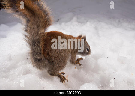 MAYNOOTH, ONTARIO, CANADA - April 13, 2018: A red squirrel (Tamiasciurus hudsonicus), part of the Sciuridae family forages for food.  ( Ryan Carter ) - Stock Photo