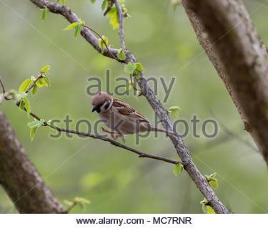 Eurasian tree sparrow (Passer montanus) - Stock Photo