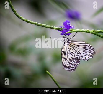 Paper Kite/Rice Paper/Large tree Nymph Butterfly ( Idea leuconoe) feeding on a purple flower - Stock Photo
