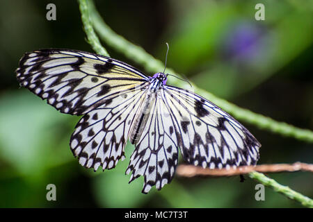 Paper Kite/Rice Paper/Large tree Nymph Butterfly ( Idea leuconoe) - Stock Photo