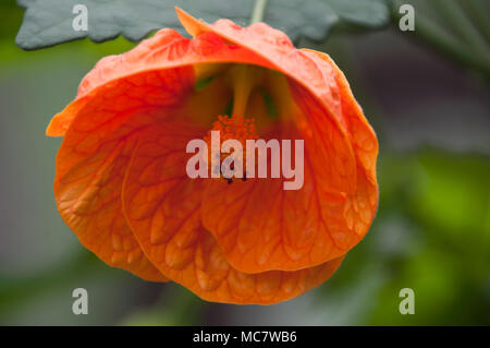 Sydney Australia, orange chinese bell flower - Stock Photo