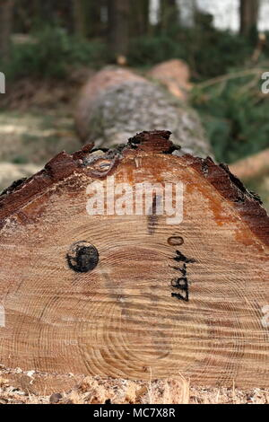 Newly cut down pine tree with an official stamp and a reference number on its trunk - Stock Photo