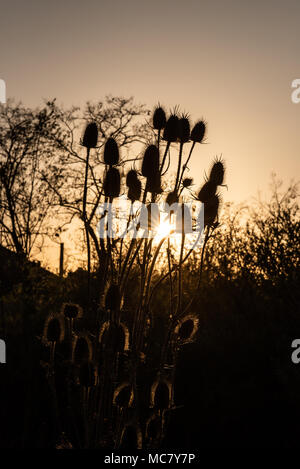Teasels in sunset - Stock Photo