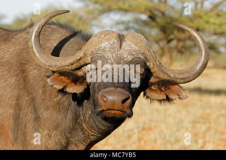 Portrait of an African or Cape buffalo (Syncerus caffer), Mokala National park, South Africa - Stock Photo