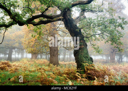 Ancient Oak Trees in the Mist - Stock Photo
