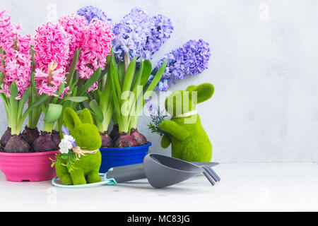 Hyacinth pink and blue fresh flowers with rabbits and gardening tolls on light gray background - Stock Photo