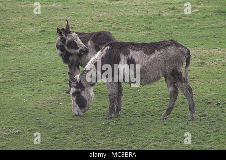 pair of rescue donkeys, Equus africanus asinus, out in the fields of the roaring donkey sancuary, west cork, ireland - Stock Photo