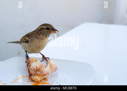 male hungry Sparrow stealing pizza from the plate - Stock Photo