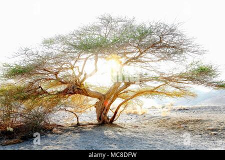 Umbrella thorn acacia (Acacia tortilis). A medium to large canopied tree native to arid areas in the savannas of Africa and the Middle East. Photographed in the northern plains of Negev desert, Israel, at sunset. - Stock Photo