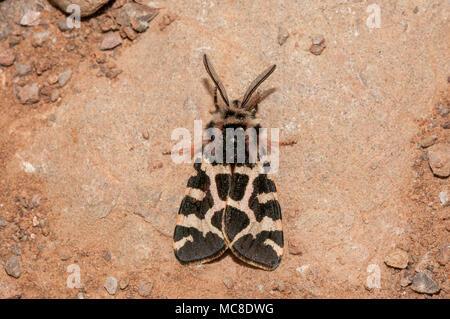 close-up view lepidopteran, wood tiger, Parasemia plantaginis, Matadepera, Catalonia - Stock Photo