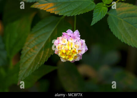 beautiful yellow-pink inflorescence of a tropical flower Lantana camara (big-sage,  wild-sage, red-sage, white-sage or tickberry) - Stock Photo