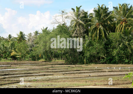 Cattle Egrets looking in a rice fields for food. Tissamahara, Sri Lanka. - Stock Photo