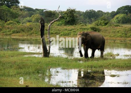 Wild Sri Lankan elephant grazing in the Yala National Park in Sri Lanka - Stock Photo