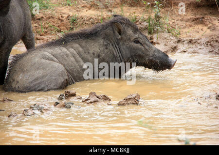 Warthog taking a bath in the mud at the Yala National Park, Sri Lanka - Stock Photo