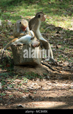 Toque Macaques in the Ancient City of Polonnaruwa, Sri Lanka - Stock Photo